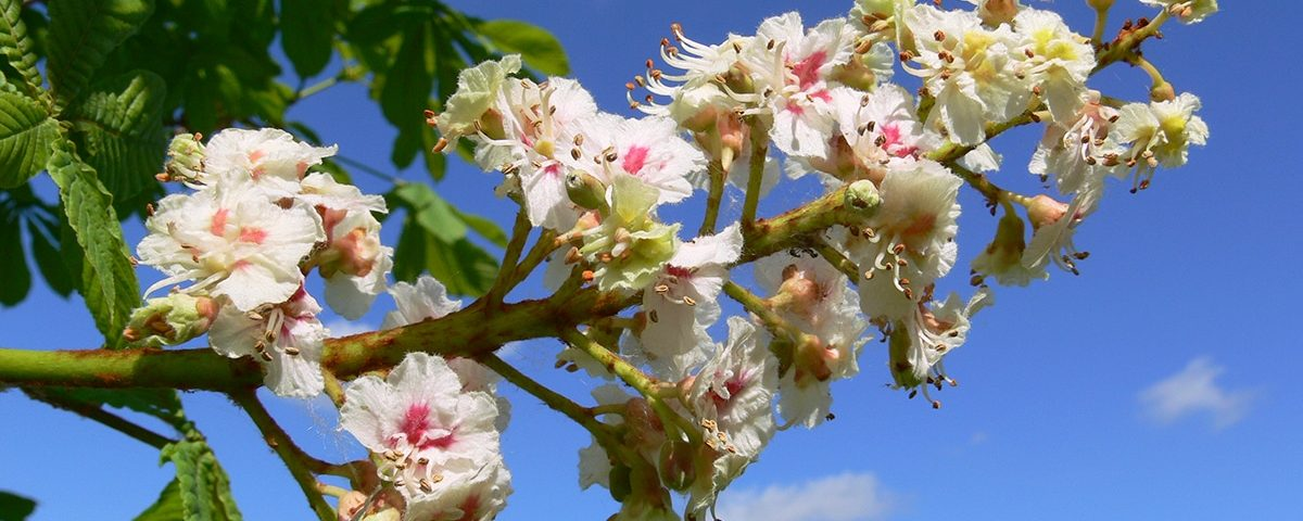 bloesem White Chestnut - Bach bloesem