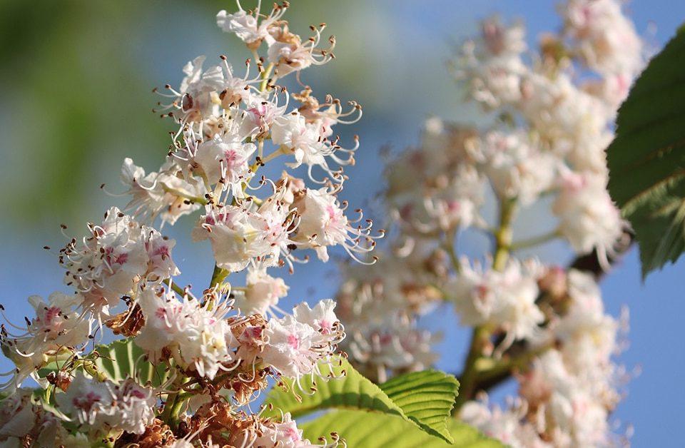 bloesem sweet chestnut - Bach bloesem
