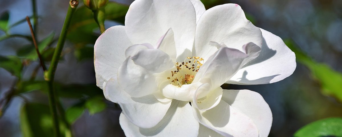 bloesem wild rose - bach bloesem