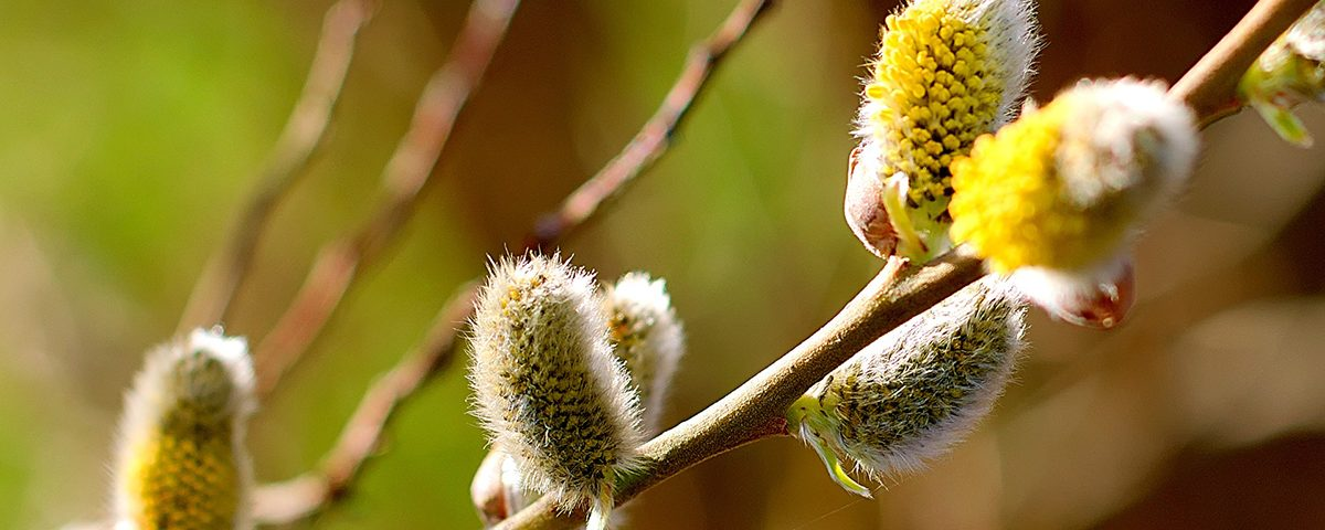 bloesem willow- wilg - bach bloesem